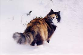 [photo, Calico cat in snow, Annapolis, Maryland]