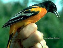 [photo, Baltimore oriole in full breeding plumage]