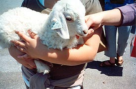 [photo, Lamb, Maryland Sheep and Wool Festival, Howard County Fairgrounds, West Friendship, Maryland]